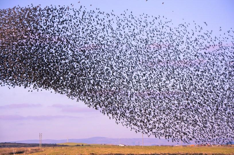 Ptice selivke