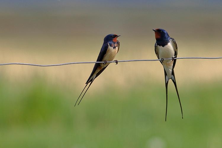 Ptice selivke: Lastovica